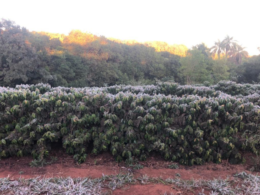 coffee prices Brazil frost